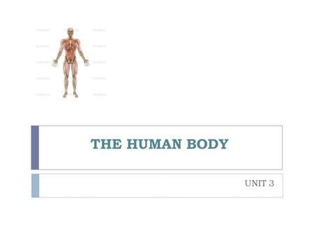 THE HUMAN BODY UNIT 3. bones short Long Flat ribs muscles Voluntary biceps/triceps Involuntary joints Fixed Semi-flexible vertebrae Flexible elbow THE.