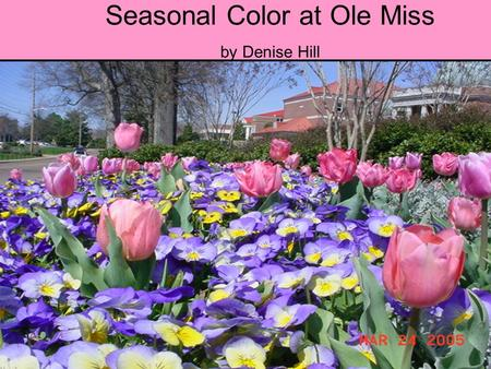 Seasonal Color at Ole Miss by Denise Hill. How do you make the flower beds look so nice? Dusty Miller borders Red leaf begonias. Purple & White pansies.