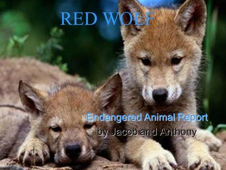 RED WOLF Endangered Animal Report by Jacob and Anthony.