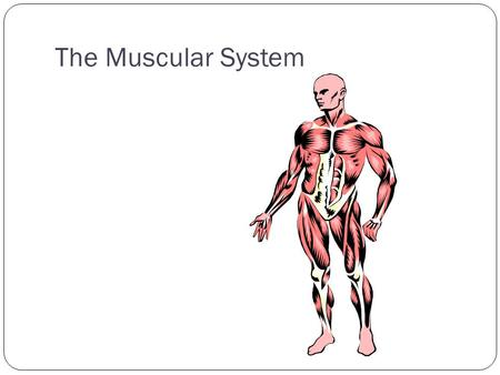 The Muscular System. Structure and Function of Muscle Tissue Muscle type SkeletalCardiacSmooth Striated? Voluntary? Location? Regenerate Function?