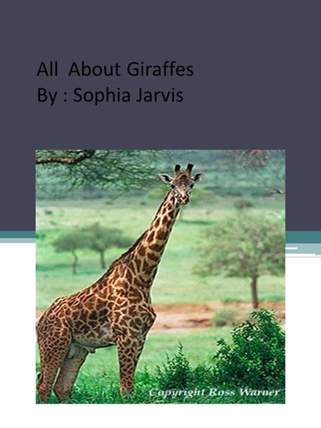 All About Giraffes By : Sophia Jarvis.