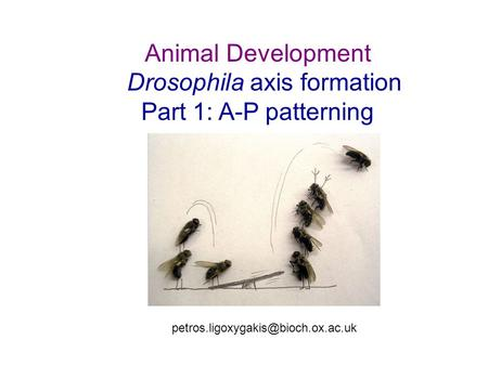 Animal Development Drosophila axis formation Part 1: A-P patterning