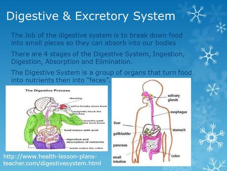 Digestive & Excretory System The Job of the digestive system is to break down food into small pieces so they can absorb into our bodies There are 4 stages.