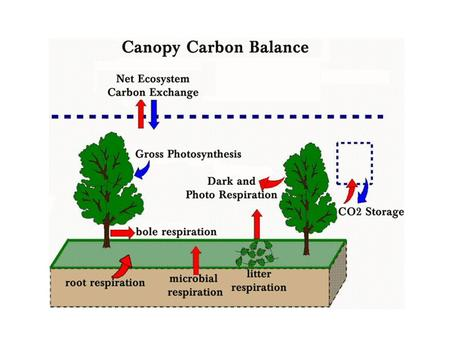 Plant Canopies and Carbon Dioxide Flux At night: - flux directed from canopy to the atmosphere - respiration from leaves, plant roots, soil Daytime:-