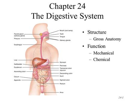 Chapter 24 The Digestive System