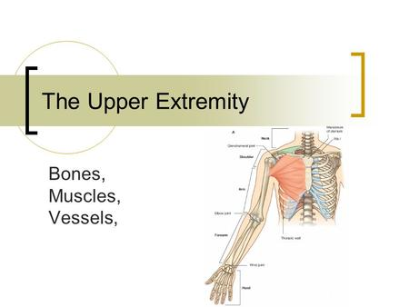 The Upper Extremity Bones, Muscles, Vessels,.