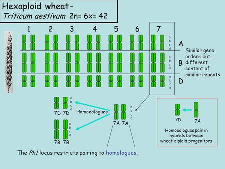 Hexaploid wheat- Triticum aestivum 2n= 6x= 42 1234567 A B D abcdabcd abcdabcd abcdabcd Similar gene orders but different content of similar repeats 7A.