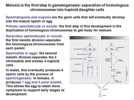 Meiosis is the first step in gametogenesis: separation of homologous chromosomes into haploid daughter cells Spermatogonia and oogonia are the germ cells.