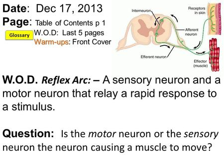 Warm-ups Date: Dec 17, 2013 Page: Table of Contents p 1 W.O.D: Last 5 pages Warm-ups: Front Cover W.O.D. Reflex Arc: – A sensory neuron and a motor neuron.