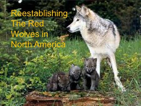 Reestablishing The Red Wolves in North America. Info Name: Red Wolf Living Range: All of the Us Weight :40-175 LB. Length: 49-83 Is one of the most Endangered.