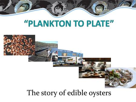The story of edible oysters. What are oysters? Marine / estuarine animal Shell (mollusc) Bivalves (2 shells) Omnivore (eats both phytoplankton and zooplankton)