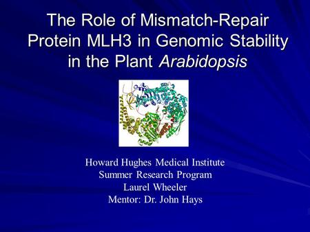 The Role of Mismatch-Repair Protein MLH3 in Genomic Stability in the Plant Arabidopsis Howard Hughes Medical Institute Summer Research Program Laurel Wheeler.