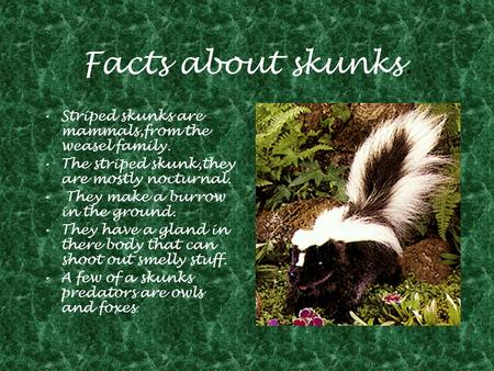 Facts about skunks. Striped skunks are mammals,from the weasel family. The striped skunk,they are mostly nocturnal. They make a burrow in the ground. They.