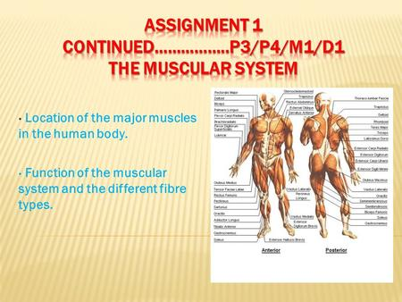 Location of the major muscles in the human body. Function of the muscular system and the different fibre types.