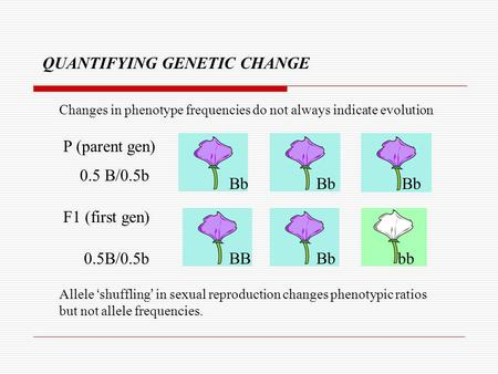 Changes in phenotype frequencies do not always indicate evolution QUANTIFYING GENETIC CHANGE Bb Bb Bb 0.5 B/0.5b BB Bb bb0.5B/0.5b Allele 'shuffling' in.