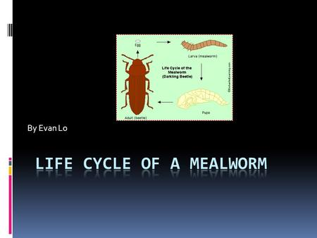 By Evan Lo Egg larva pupa adult  this is the life cycle of a egg to a mealworm to a pupa to a adult.
