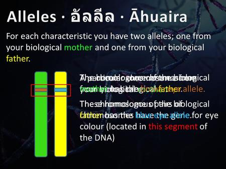 For each characteristic you have two alleles; one from your biological mother and one from your biological father. A particular chromosome from your biological.