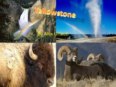 By Alex Urlaub. . Yellowstone has high levels of volcanic activity in it, in fact it is a volcano, causing geysers, hot springs and mud-pots to emerge.