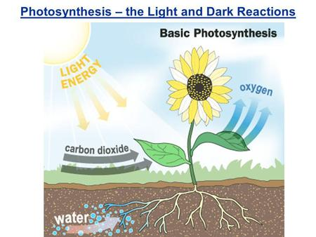 Photosynthesis – the Light and Dark Reactions Outer membrane Inner membrane Stroma Thylakoids Granum Light-dependent reactions take place in the thylakoid.