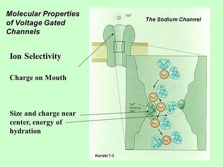 Molecular Properties of Voltage Gated Channels Ion Selectivity Charge on Mouth Size and charge near center, energy of hydration The Sodium Channel Kandel.