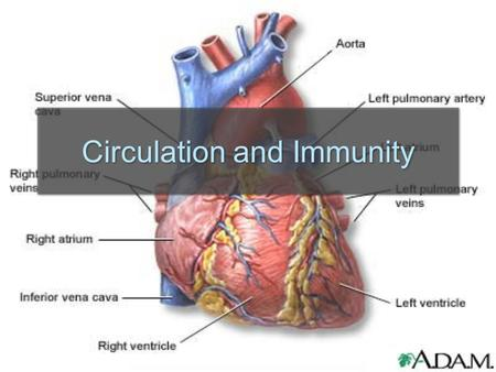 Circulation and Immunity. Cardiovascular System  The system consisting of the heart, blood vessels and blood that circulates through the body.