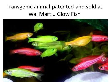 Transgenic animal patented and sold at Wal Mart… Glow Fish