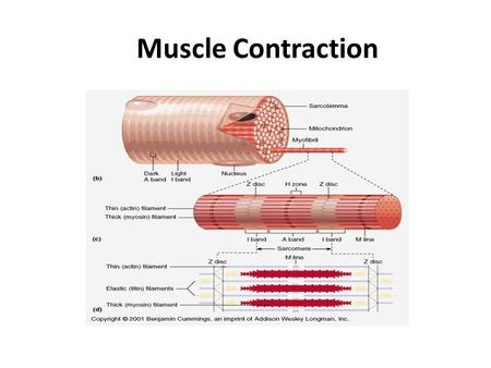 Muscle Contraction. 1. The brain sends an electrical message down a motor neuron.