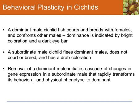 Behavioral Plasticity in Cichlids A dominant male cichlid fish courts and breeds with females, and confronts other males – dominance is indicated by bright.
