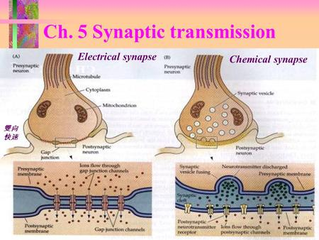Ch. 5 Synaptic transmission Electrical synapse Chemical synapse 雙向 快速.