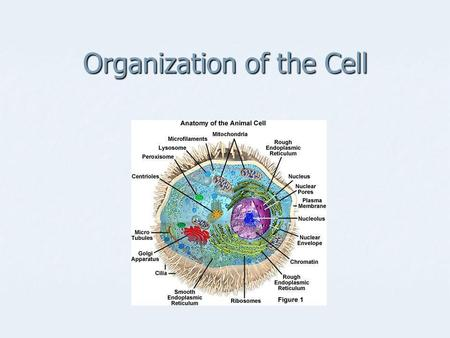 Organization of the Cell. Cell theory Cell theory Cells are the basic living units of organization and function Cells are the basic living units of organization.