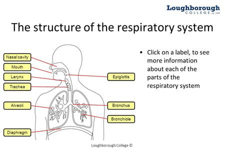 Loughborough College © Click on a label, to see more information about each of the parts of the respiratory system Mouth Larynx Trachea The structure of.