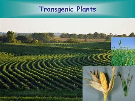 Transgenic Plants. Prepare tissue for transformation Introduce DNA Culture plant tissue Develop shoots Develop Roots Field test the plants Leaf, germinating.