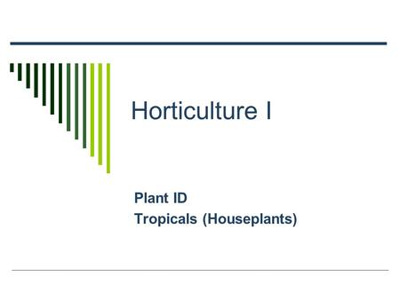 Horticulture I Plant ID Tropicals (Houseplants). Aracaria heterophylla  CN: Norfolk Island Pine  Small evergreen tree – 4'  Native to Australia – 200'