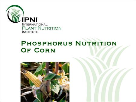 Phosphorus Nutrition Of Corn. Outline – P Nutrition of Corn Changes in root system development over the season Impacts on attainable yield potential Requirements.
