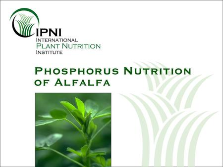 Phosphorus Nutrition of Alfalfa. Phosphorus (P) Nutrition of Alfalfa U.S. alfalfa hay yields keep increasing Nutrient uptake and removal Alfalfa root.