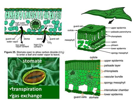 stomate transpiration gas exchange 3 Photosynthesis Overview Energy for all life on Earth ultimately comes from photosynthesis. 6CO 2 + 12H 2 O C 6.