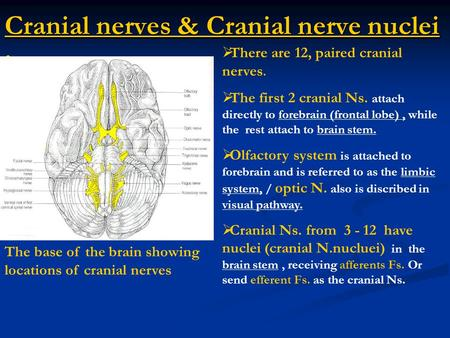 Cranial nerves & Cranial nerve nuclei : The base of the brain showing locations of cranial nerves  There are 12, paired cranial nerves.  The first 2.