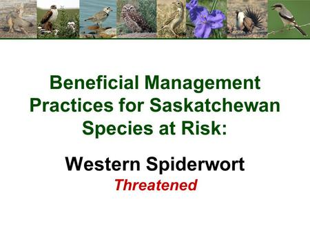 Beneficial Management Practices for Saskatchewan Species at Risk: Western Spiderwort Threatened.
