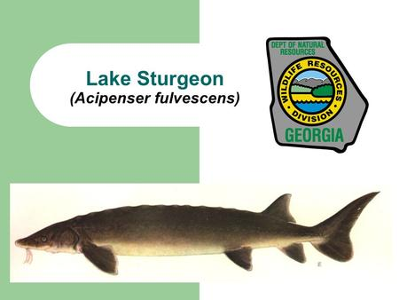 Lake Sturgeon (Acipenser fulvescens). What are Lake Sturgeon? Cartilaginous (nearly boneless) fish Row of bony scutes on side and top of body Shark-like.