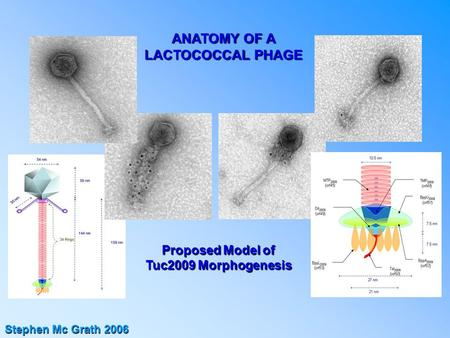 ANATOMY OF A LACTOCOCCAL PHAGE Stephen Mc Grath 2006 Proposed Model of Tuc2009 Morphogenesis.