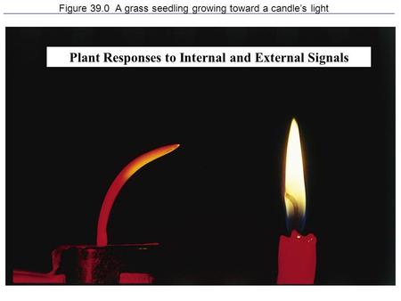 1 Figure 39.0 A grass seedling growing toward a candle's light Plant Responses to Internal and External Signals.
