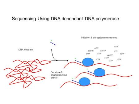 Sequencing Using DNA dependant DNA polymerase Initiation & elongation commences Denature & anneal labelled primer * * dCTP dGTP dATP dTTPdCTP dATP dTTPdATP.