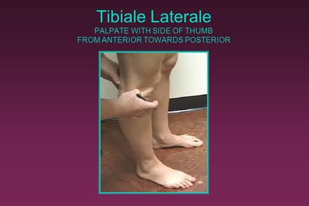 Tibiale Laterale PALPATE WITH SIDE OF THUMB FROM ANTERIOR TOWARDS POSTERIOR ©R.