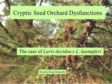 Cryptic Seed Orchard Dysfunctions The case of Larix decidua x L. kaempferi Results from Denmark.