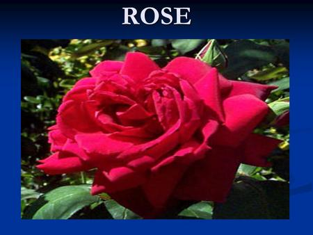 ROSE. USES OF ROSE is used for making perfumes is used for making perfumes Gulkand Gulkand Rose water Rose water For decoration For decoration Garlands.