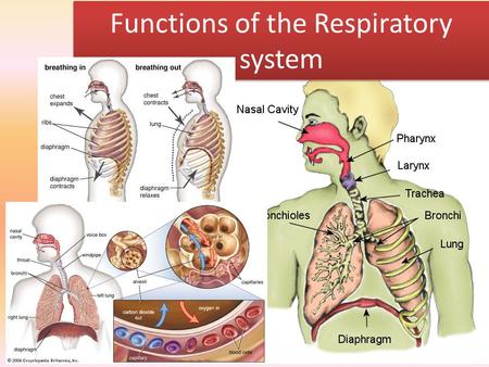 Functions of the Respiratory system. P6/ M3 To get a PASS: A labelled diagram of the respiratory system and its application. A general description of.