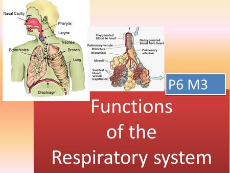 Functions of the Respiratory system P6 M3. responsible The respiratory system is responsible for: – getting oxygen in to our body – Getting carbon dioxide.