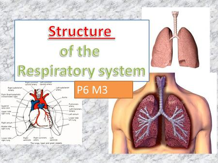 P6 M3. Respiratory System: Intakes oxygen Releases carbon dioxide waste Circulatory system: Transports gases in blood between lungs and cells Respiratory.
