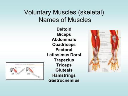 Voluntary Muscles (skeletal) Names of Muscles Deltoid Biceps Abdominals Quadriceps Pectoral Latissimus Dorsi Trapezius Triceps Gluteals Hamstrings Gastrocnemius.