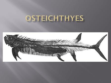  Means fish with bony skeletons  There are over 20,000 species of bony fish.